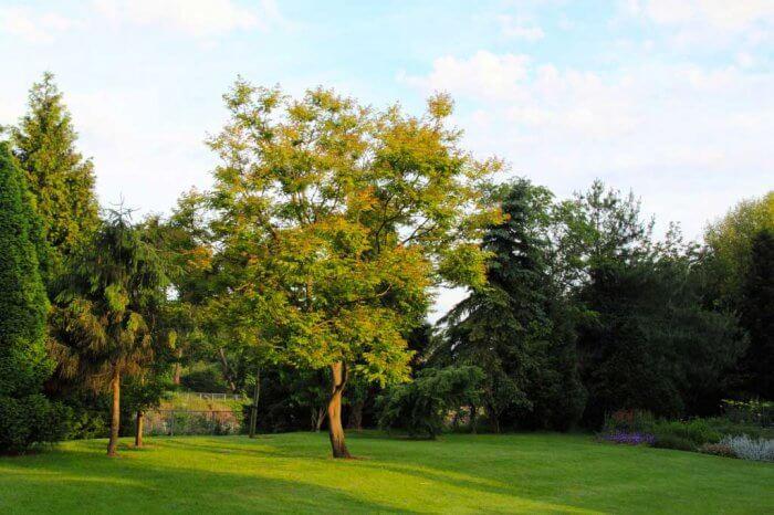 Photo of the Kentucky Coffee Tree
