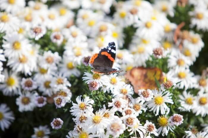 A red admiral butterfly on some daisies